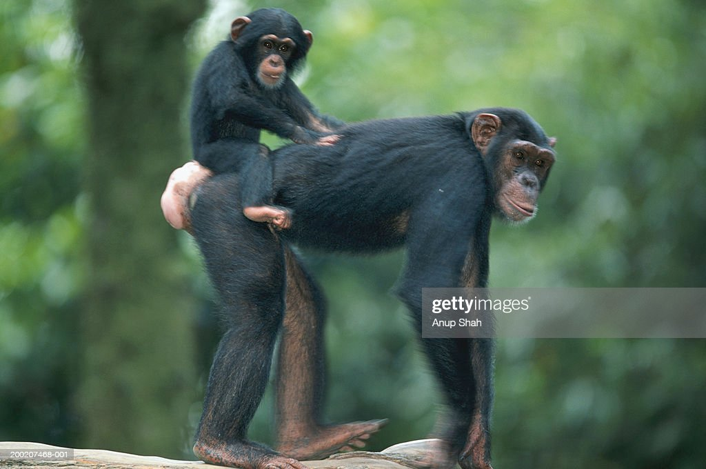 Common chimpanzee (Pan troglodytes) with it's young, close up, Africa
