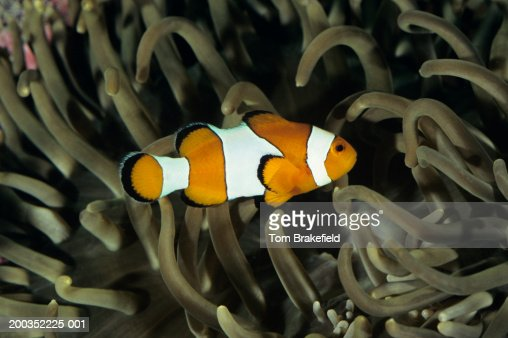 Common clownfish (Amphiprion ocellaris) in anemone, tropical reef fish, Indo-Pacific : Stock Photo
