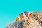 白化したイソギンチャクの家の中で。Common Clownfish in Miyakojima-island,Okinawa,Japan