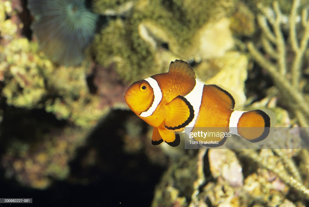 Common clownfish (Amphiprion ocellaris), tropical reef fish, Indo-Pacific : Stock Photo