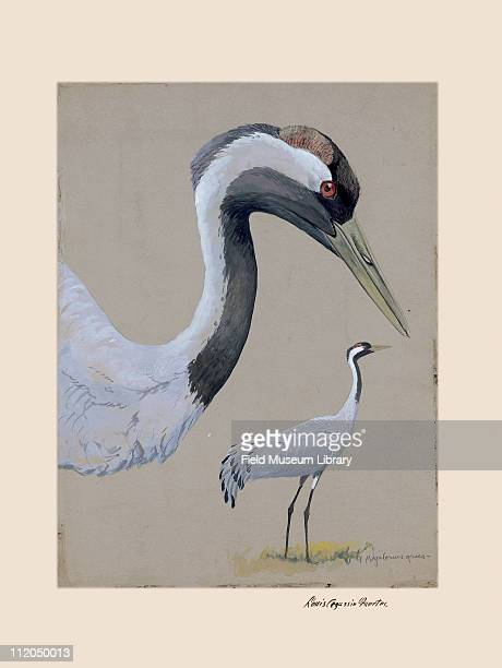 Common Crane Plate 42 a watercolor Louis Agassiz Fuertes 1926