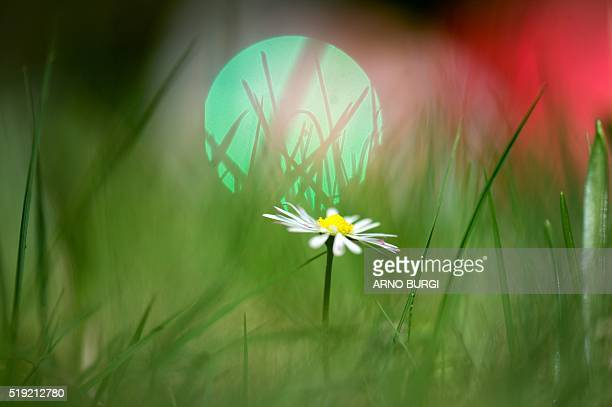 A common daisy stands on a meadow in Dresden eastern Germany on April 5 2016 / AFP / dpa / Arno Burgi / Germany OUT