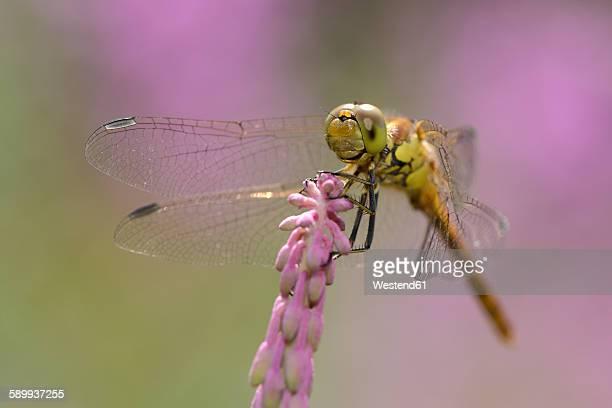 Common darter on a blossom