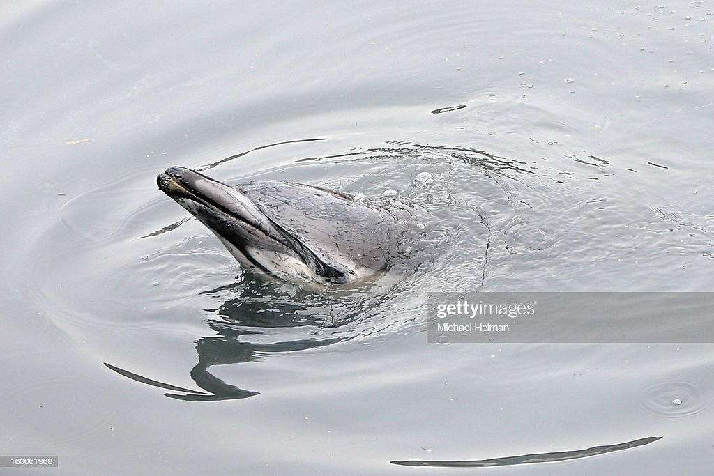 A common dolphin comes up for air after getting stuck in a section of the Gowanus Canal on January 25, 2013 in Brooklyn borough of New York City. Officials are waiting till high tide in the hopes that the stuck dolphin will be able to free itself from the canal.