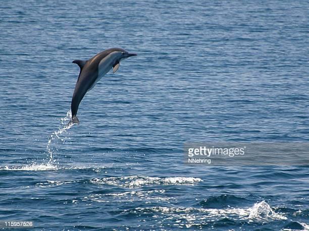 共通ドルフィン Delphinus delphis