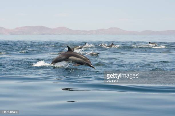 Common Dolphin group jumping out of the water Sea of Cortez Baja California Mexico