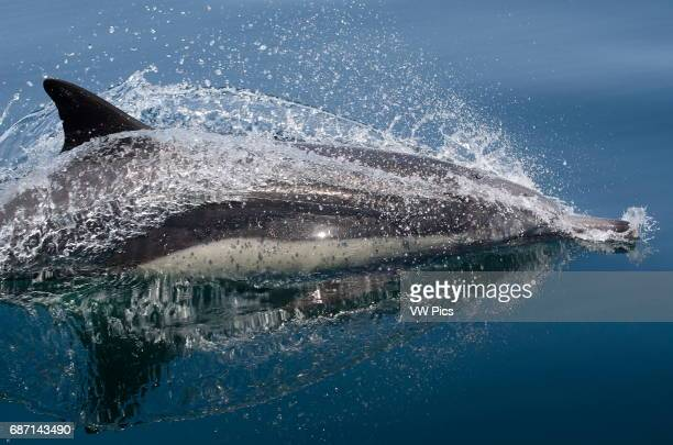Common Dolphin jumping out of the water Sea of Cortez Baja California Mexico