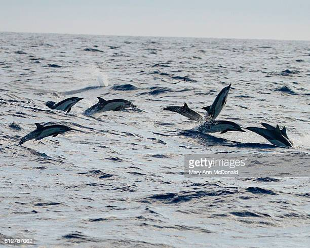 Common dolphin jumping waves in the Pacific off Baja, California