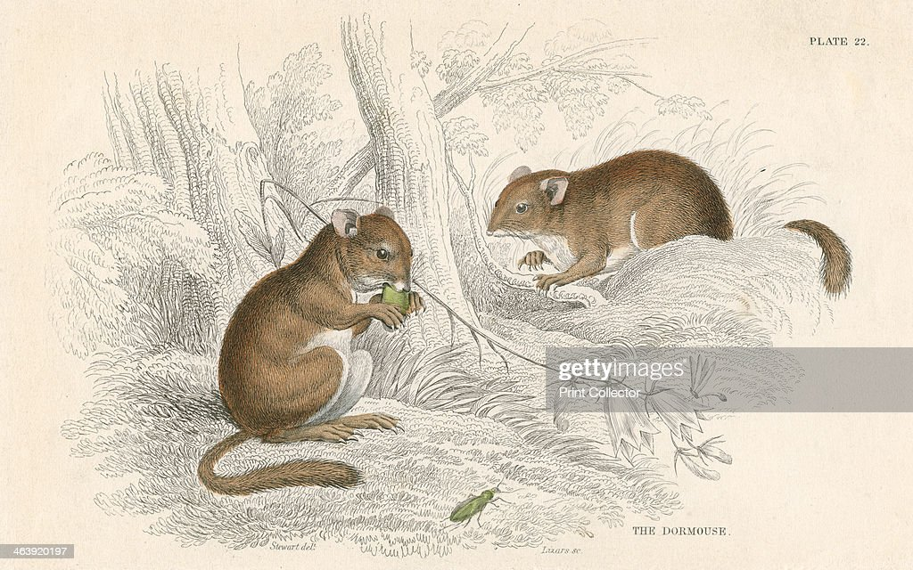 Common dormouse hibernating rodent 1828 From British Quadrupeds by William MacGillivray one of the volumes in William Jardine's Naturalist's Library...