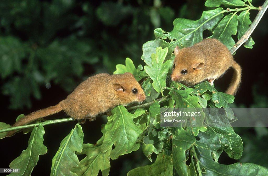 common dormouse muscardinus avellanarius male and female on oak norfolk, uk