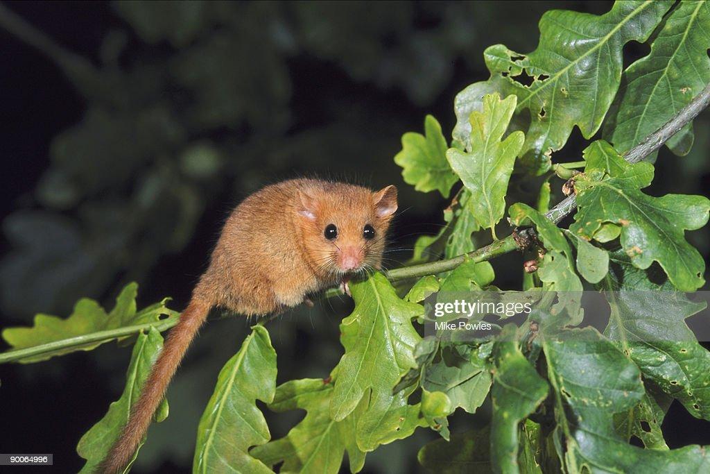 common dormouse muscardinus avellanarius male on oak norfolk, uk