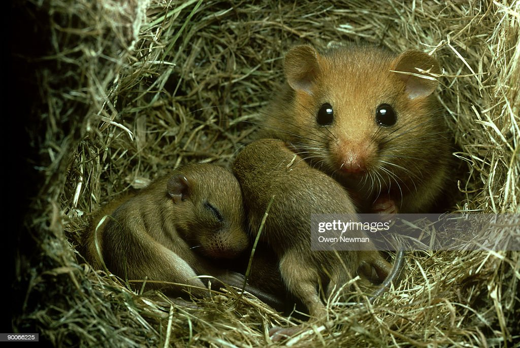common dormouse: muscardinus avellanarius  with 12 day old y oung in nest