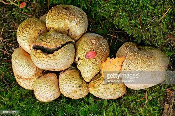 Common earth ball - mushrooms - toadstool (Scleroderma citrinum)