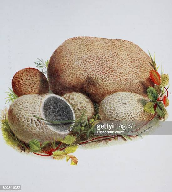 Common earthball pigskin poison puffball or common earth ball Scleroderma vulgare digital reproduction of an ilustration of Emil Doerstling