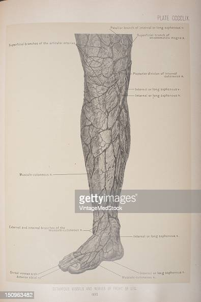 Common fibular nerve saphenous nerve a branch of the femoral nerve superficial fibular nerve medial dorsal cutaneous nerve sural nerve 1903 From...