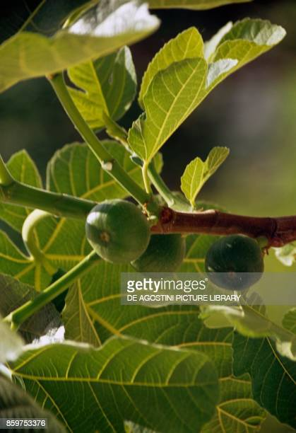 Common fig with fruits Moraceae