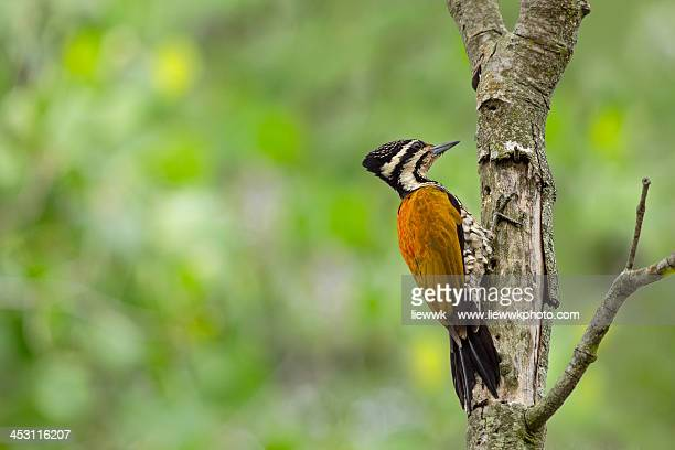 Common flameback woodpecker
