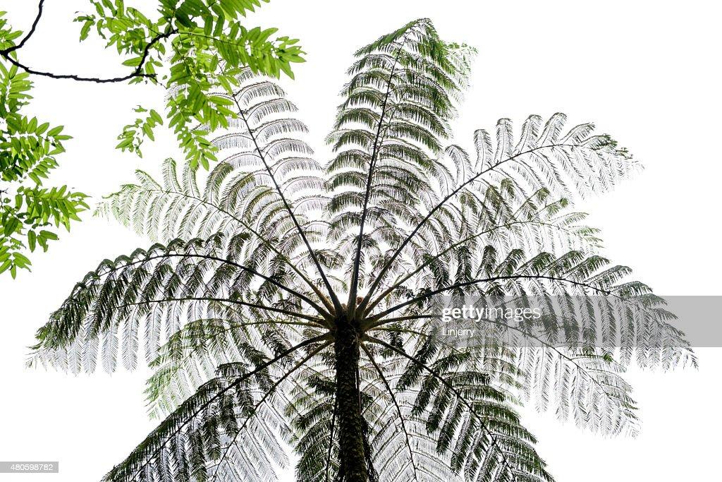 Common Free Ferm's leaves(Cyathea lepifera) : Stock Photo