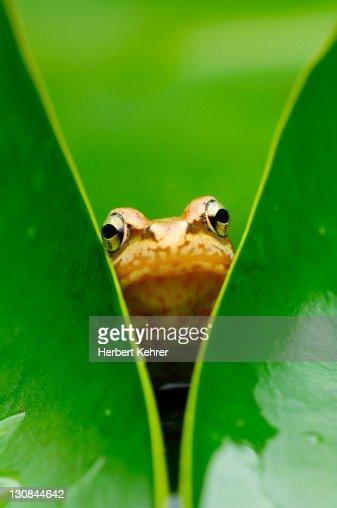 Common frog (Rana temporaria), juvenile