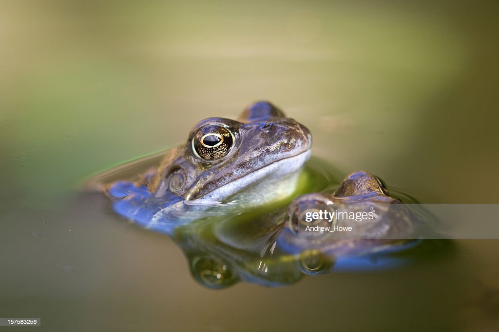 Common Frog (Rana temporaria) : Stock Photo