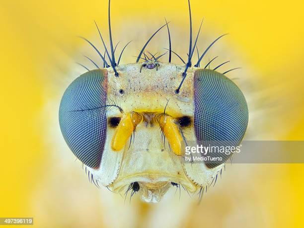 Common fruit fly (Drosophila melanogaster)