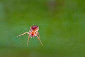 common garden spider caught in the morning sunlight weaving its fine silk web