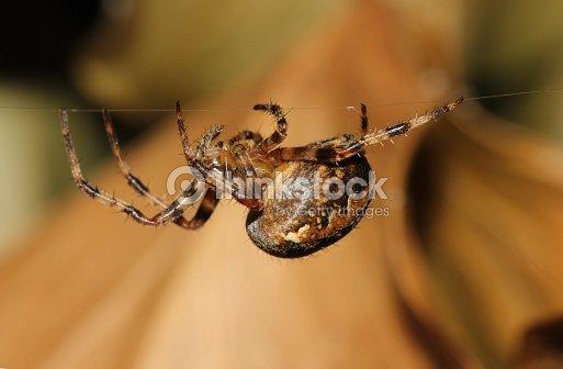 common garden spider araneus diadematuswalking along web stock photo - Common Garden Spider