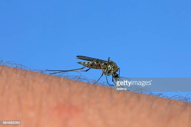Common gnat / common house mosquito stinging human arm to feed on blood