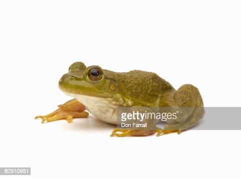 Common Green Frog : Stock Photo