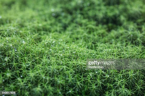 Common Hair Moss