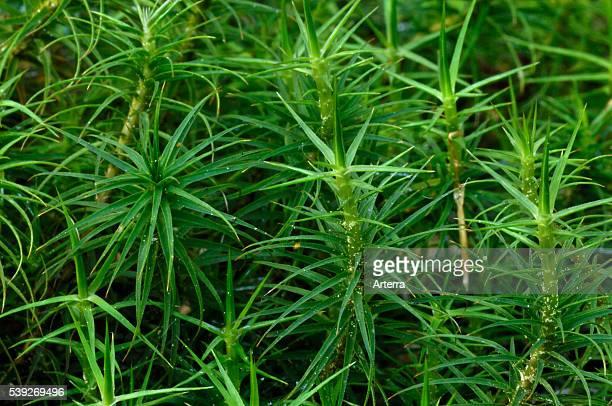 Common haircap moss / Common hair moss / Great goldilocks in bog