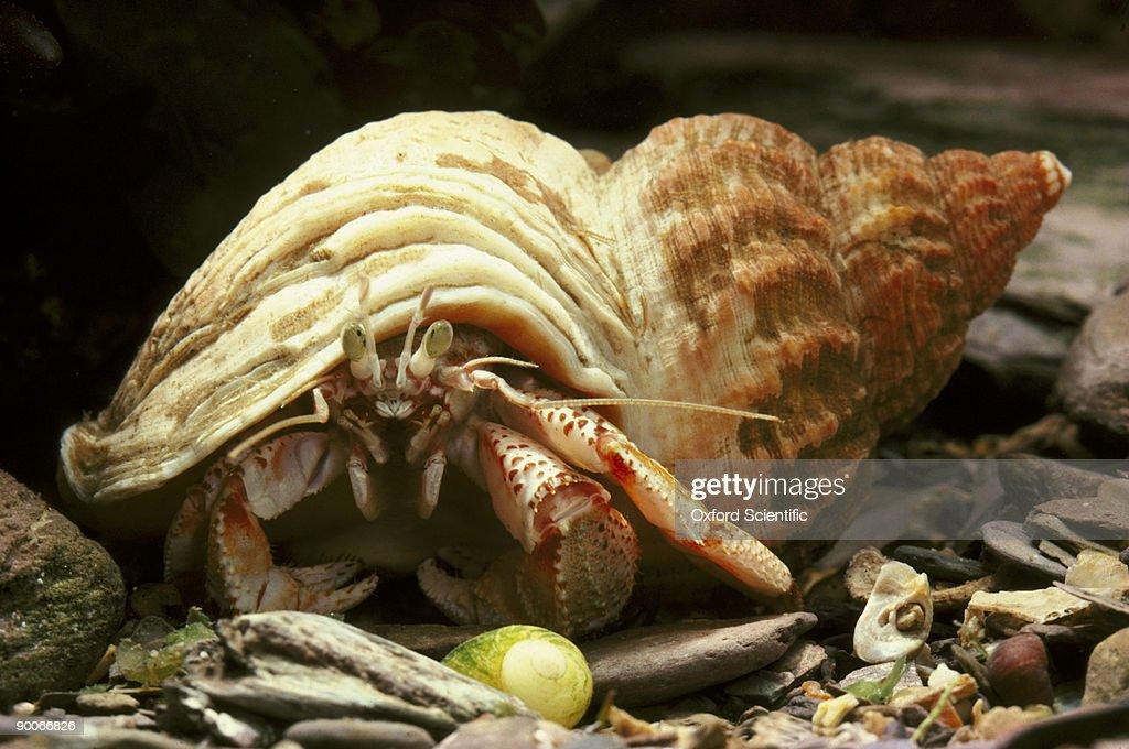 common hermit crab : Stock Photo