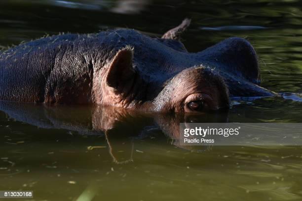 Common hippopotamus pictured at Madrid zoo