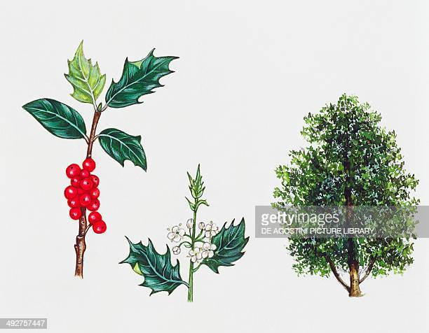 Common holly English holly or European holly Aquifoliales tree leaves flowers and fruits illustration