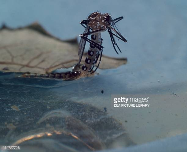 Common house mosquito larvae Culicidae