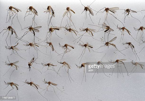 Common house mosquitoes wait to be examined in a laboratory of the FriedrichLoefflerInstitute on the Baltic Sea island of Riems near Greifswald...