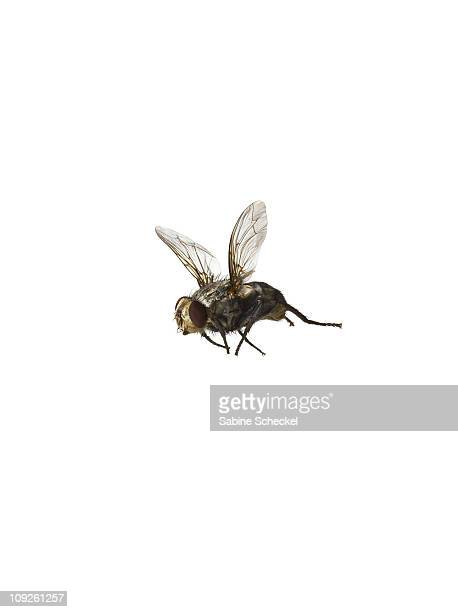 common housefly flying on white