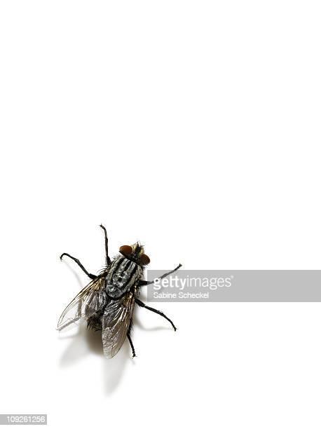 common housefly, overhead view