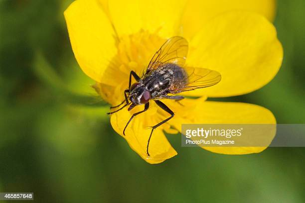 A common housefly photographed on a yellow flower in south west England taken on June 12 2014