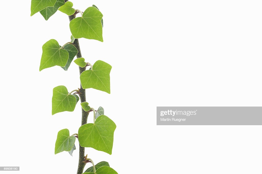Common Ivy Hedera helix branch with leaves. : Stock Photo