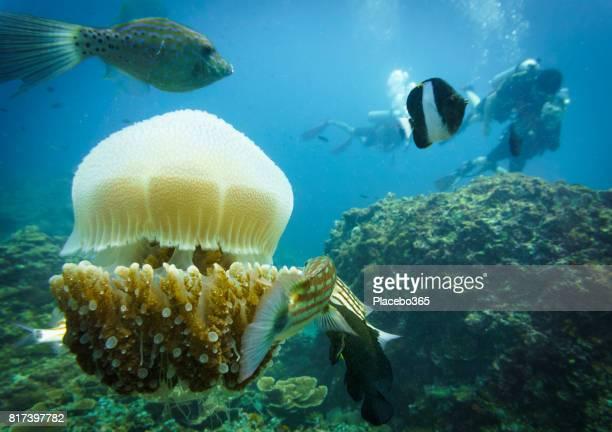 Common Jellyfish (Thysanostoma thysanura) and Scuba Divers