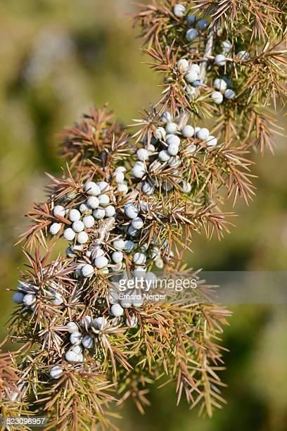 Common Juniper -Juniperus communis-, Emsland, Lower Saxony, Germany