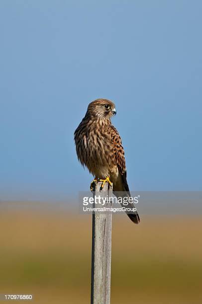 Common Kestrel Falco Tinnunculus Denmark