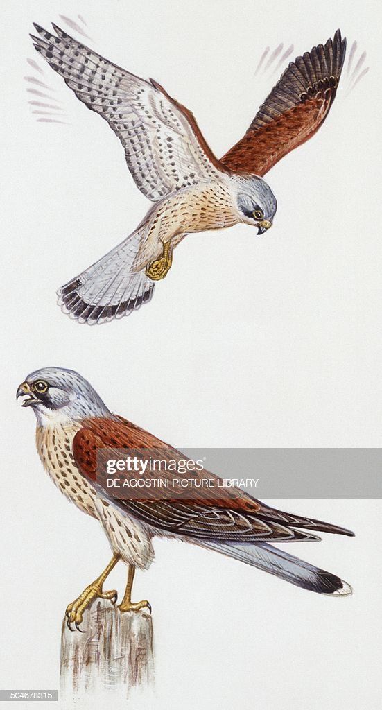 Common Kestrel (Falco tinnunculus), Falconidae, drawing.