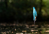 Common kingfisher diving into water.