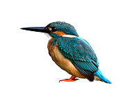 Common Kingfisher (Alcedo atthis) Green and turquoise blue bird details from head beak wing back feet to tail isolated on white background, exotic nature