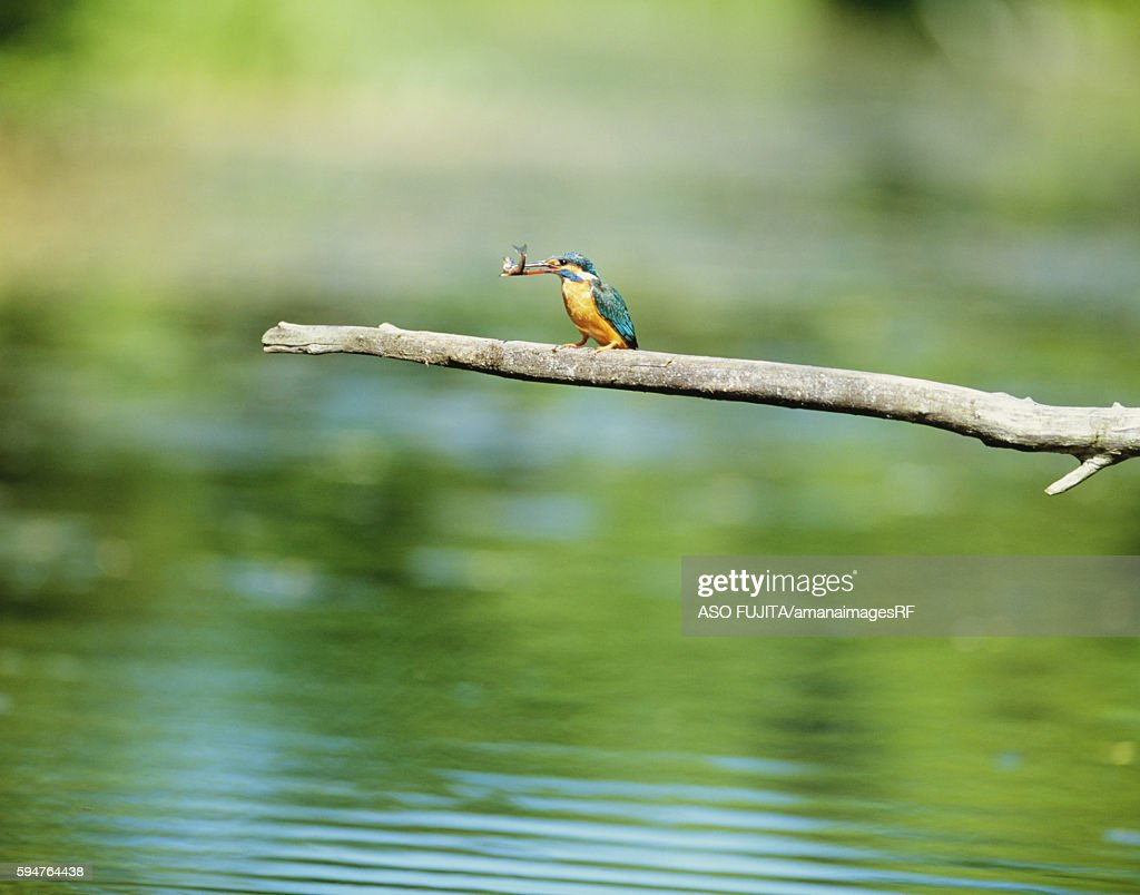 Common kingfisher perched on branch by lake with fish in its mouth, Kushiro, Hokkaido, Japan