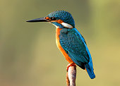 The common kingfisher also known as the Eurasian kingfisher, and river kingfisher.