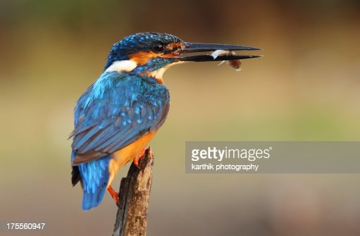 Common kingfisher with fish : Stock Photo