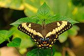 Common Lime Butterfly or Citrus Swallowtail -Papilio demoleus-, tropical butterfly, Australia